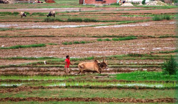 Farmers Busy With Paddy Plantation In Kailali