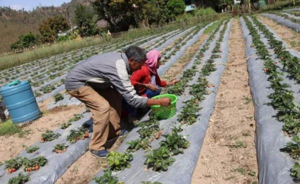 Commercial Strawberry Farming Begins In Pyuthan